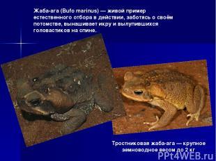 Тростниковая жаба-ага — крупное земноводное весом до 2 кг Жаба-ага (Bufo marinus
