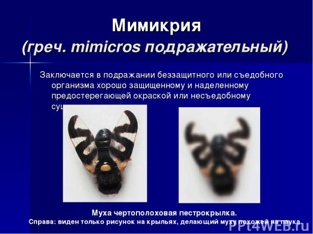 Мимикрия (греч. mimicros подражательный) Заключается в подражании беззащитного или съедобного организма хорошо защищенному и наделенному предостерегающей окраской или несъедобному существу. Муха чертополоховая пестрокрылка. Справа: виден только рису…