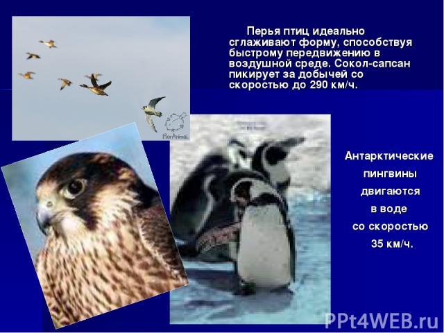 Перья птиц идеально сглаживают форму, способствуя быстрому передвижению в воздушной среде. Сокол-сапсан пикирует за добычей со скоростью до 290 км/ч. Антарктические пингвины двигаются в воде со скоростью 35 км/ч.