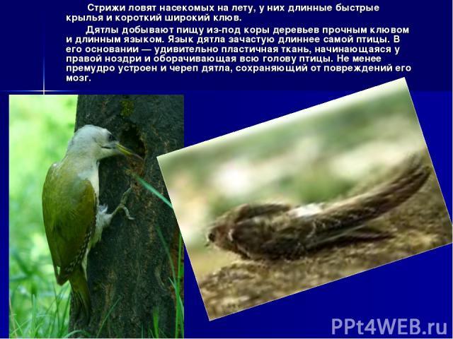Стрижи ловят насекомых на лету, у них длинные быстрые крылья и короткий широкий клюв. Дятлы добывают пищу из-под коры деревьев прочным клювом и длинным языком. Язык дятла зачастую длиннее самой птицы. В его основании — удивительно пластичная ткань, …