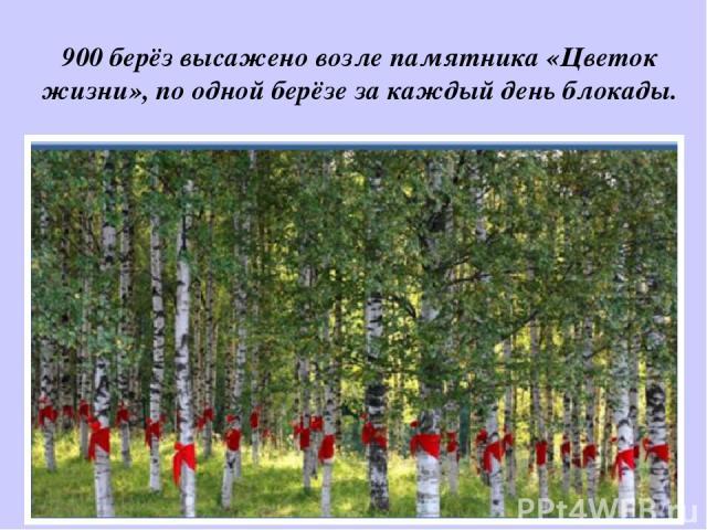 900 берёз высажено возле памятника «Цветок жизни», по одной берёзе за каждый день блокады.