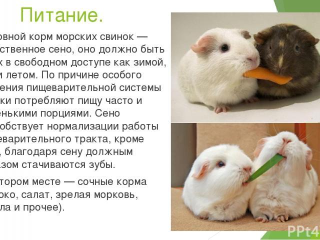 Чем не кормить морских свинок в домашних условиях 985