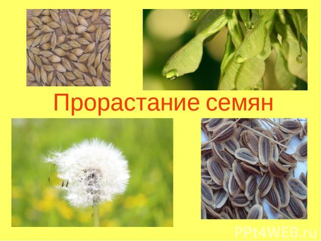 Презентация на тему прорастание семян