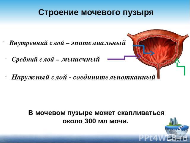 строение мочевого пузыря рисунок