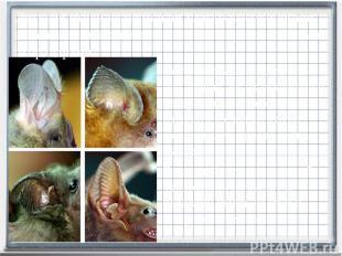 Летучие мыши имеют сла-бое зрение, но их обоняние и невероятная способность изда