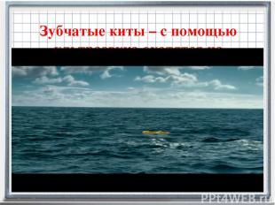 Зубчатые киты – с помощью ультразвука охотятся на кальмаров.