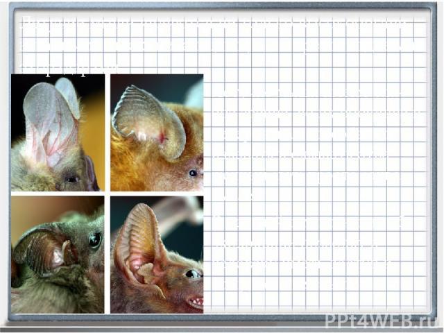Летучие мыши имеют сла-бое зрение, но их обоняние и невероятная способность издавать и слышать отра-женный звук просто захва-тывает. В дальнейшем познания об эхолокации позволят и человеку иметь доступ к тому, чего не слышно. Летучие мыши являются н…
