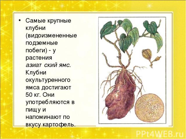 Почему клубень картофеля видоизмененный побег