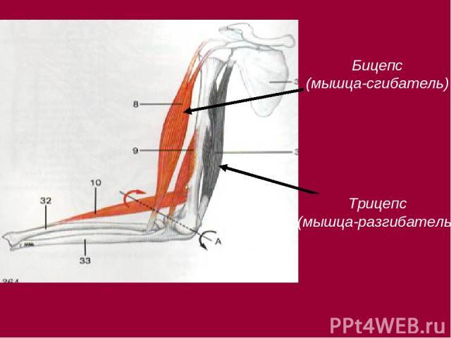 Презентацию человека на тему мышцы