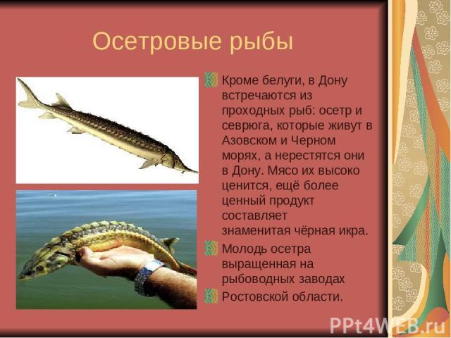Почему осетровых рыб называют проходными рыбами почему