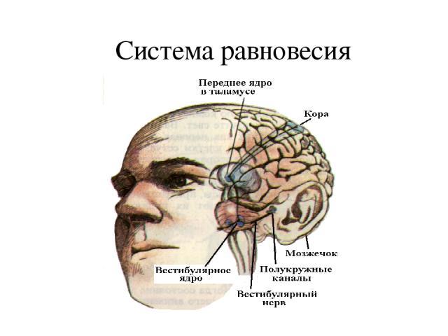 Презентация На Тему Физиология Анализаторов