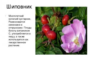 Шиповник Многолетний колючий кустарник. Размножается семенами и отпрысками. Плод