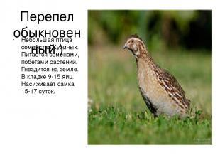 Перепел обыкновенный ) Небольшая птица семейства Куриных. Питается семенами, поб