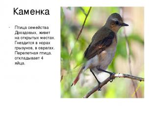 Каменка Птица семейства Дроздовых, живет на открытых местах. Гнездится в норах г
