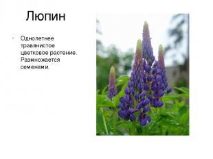 Люпин Однолетнее травянистое цветковое растение. Размножается семенами.