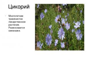 Цикорий Многолетнее травянистое лекарственное растение. Размножается семенами.