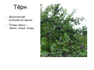 Тёрн Многолетний колючий кустарник. Плоды тёрна – тёмно- сизые ягоды.
