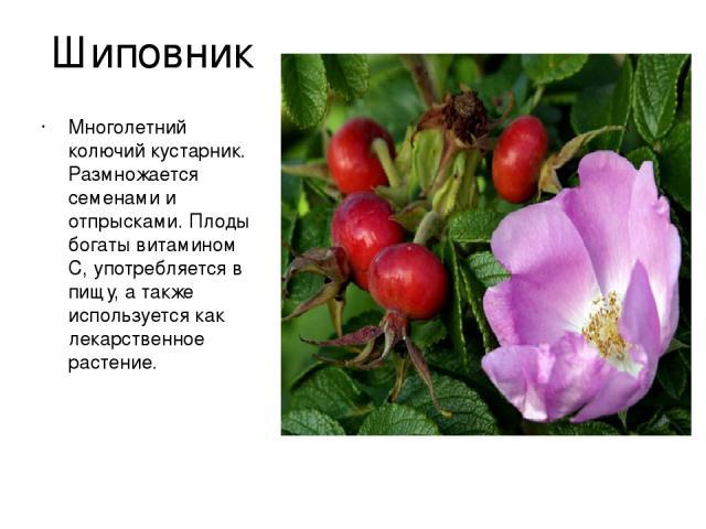Шиповник Многолетний колючий кустарник. Размножается семенами и отпрысками. Плоды богаты витамином С, употребляется в пищу, а также используется как лекарственное растение.