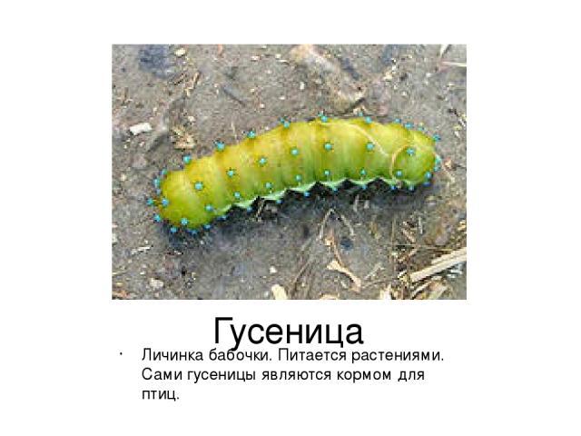 Гусеница Личинка бабочки. Питается растениями. Сами гусеницы являются кормом для птиц.