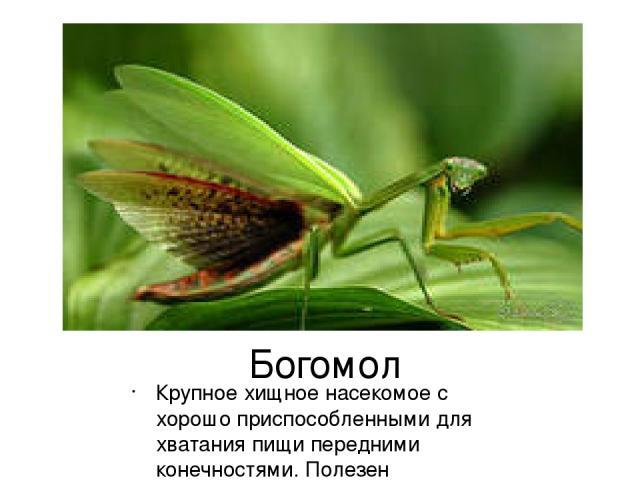 Богомол Крупное хищное насекомое с хорошо приспособленными для хватания пищи передними конечностями. Полезен истреблением насекомых.