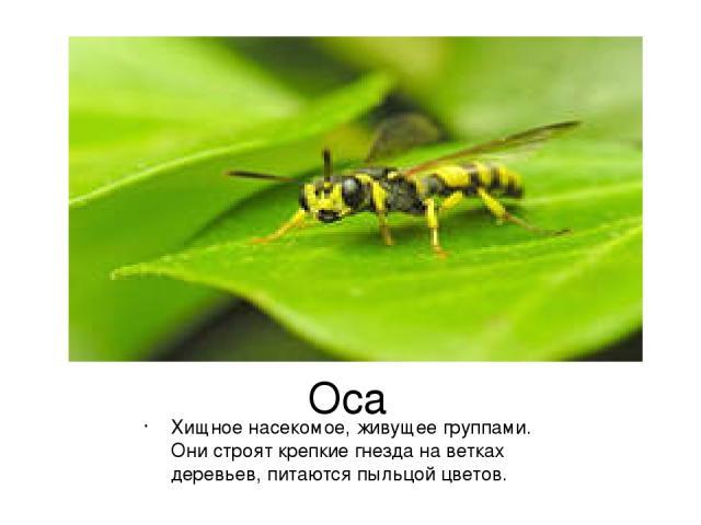 Оса Хищное насекомое, живущее группами. Они строят крепкие гнезда на ветках деревьев, питаются пыльцой цветов.