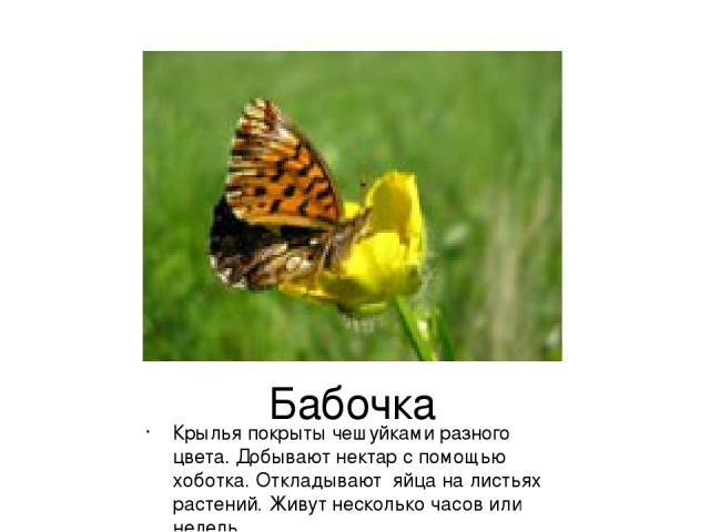 Бабочка Крылья покрыты чешуйками разного цвета. Добывают нектар с помощью хоботка. Откладывают яйца на листьях растений. Живут несколько часов или недель.