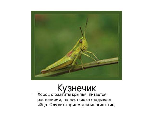 Кузнечик Хорошо развиты крылья, питается растениями, на листьях откладывает яйца. Служит кормом для многих птиц.