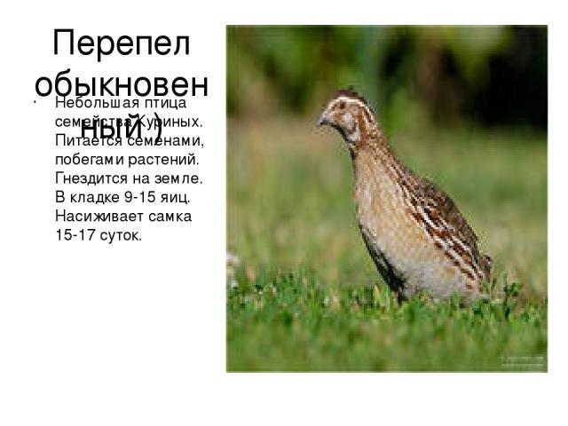 Перепел обыкновенный ) Небольшая птица семейства Куриных. Питается семенами, побегами растений. Гнездится на земле. В кладке 9-15 яиц. Насиживает самка 15-17 суток.