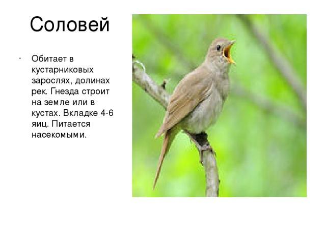 Соловей Обитает в кустарниковых зарослях, долинах рек. Гнезда строит на земле или в кустах. Вкладке 4-6 яиц. Питается насекомыми.