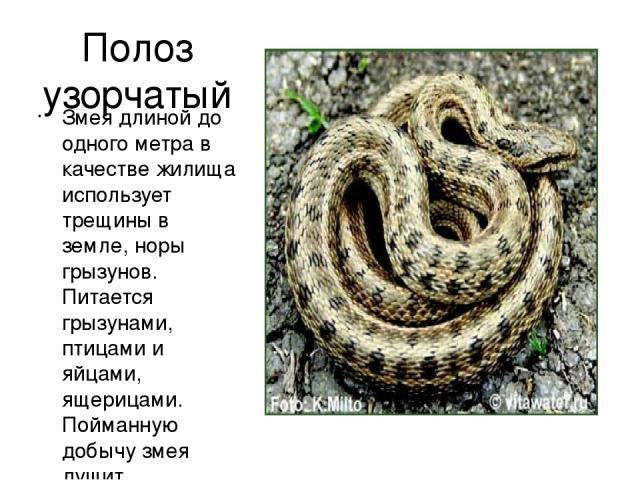 Полоз узорчатый Змея длиной до одного метра в качестве жилища использует трещины в земле, норы грызунов. Питается грызунами, птицами и яйцами, ящерицами. Пойманную добычу змея душит, сдавливая кольцами своего тела, и проглатывает только мертвой.