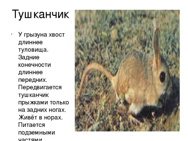 Тушканчик У грызуна хвост длиннее туловища. Задние конечности длиннее передних. Передвигается тушканчик прыжками только на задних ногах. Живёт в норах. Питается подземными частями растений.