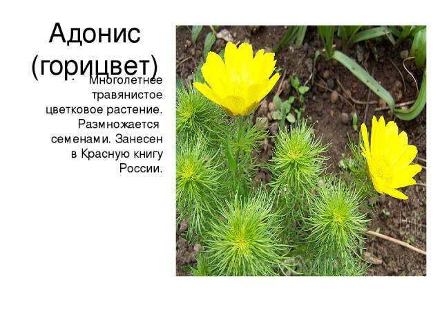 Адонис (горицвет) Многолетнее травянистое цветковое растение. Размножается семенами. Занесен в Красную книгу России.