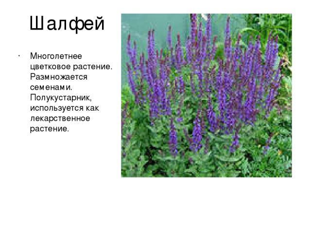 Шалфей Многолетнее цветковое растение. Размножается семенами. Полукустарник, используется как лекарственное растение.