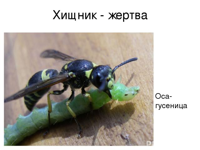 Хищник - жертва Оса-гусеница