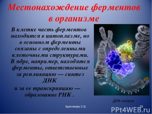 Местонахождение ферментов в организме В клетке часть ферментов находится в цитоплазме, но в основном ферменты связаны с определенными клеточными структурами. В ядре, например, находятся ферменты, ответственные за репликацию — синтез ДНК и за ее тран…