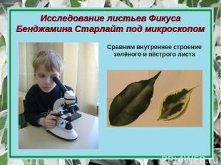 Исследование листьев Фикуса Бенджамина Старлайт под микроскопом Сравним внутренн