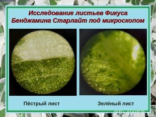 Исследование листьев Фикуса Бенджамина Старлайт под микроскопом Пёстрый лист Зел