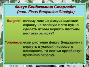 Фикус Бенджамина Старлайт (лат. Ficus Benjamina Starlight) Гипотеза: Вопрос: поч