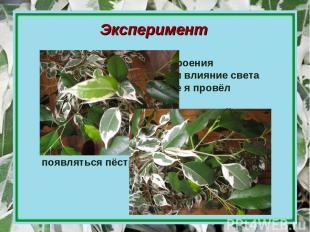 Эксперимент Изучив особенности строения пестролистных растений и влияние света н