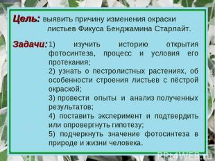 Цель: выявить причину изменения окраски листьев Фикуса Бенджамина Старлайт. 1) и