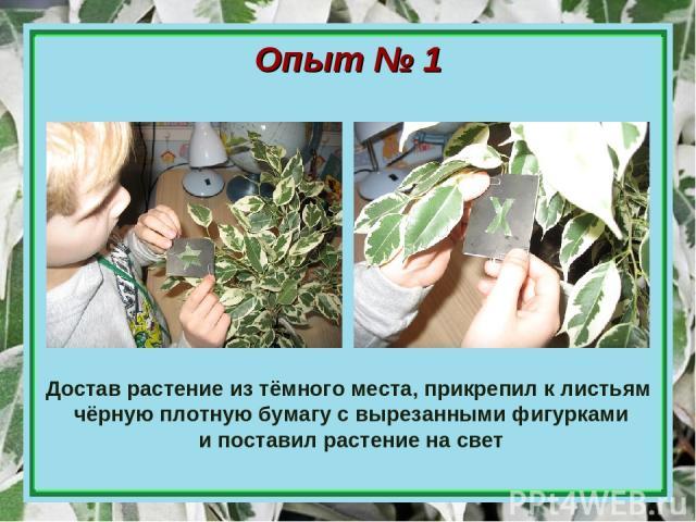 Достав растение из тёмного места, прикрепил к листьям чёрную плотную бумагу с вырезанными фигурками и поставил растение на свет Опыт № 1