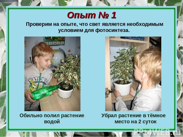 Опыт № 1 Обильно полил растение водой Убрал растение в тёмное место на 2 суток Проверим на опыте, что свет является необходимым условием для фотосинтеза.
