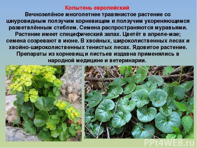садовые травянистые растения фото