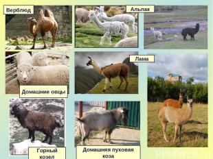 Верблюд Домашняя пуховая коза Горный козел Домашние овцы Альпак Лама