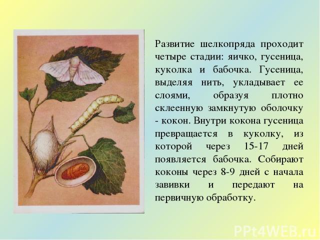Развитие шелкопряда проходит четыре стадии: яичко, гусеница, куколка и бабочка. Гусеница, выделяя нить, укладывает ее слоями, образуя плотно склеенную замкнутую оболочку - кокон. Внутри кокона гусеница превращается в куколку, из которой через 15-17 …