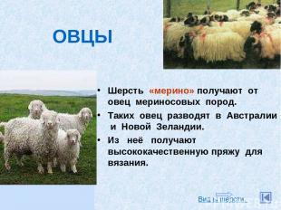 Шерсть «мерино» получают от овец мериносовых пород. Таких овец разводят в Австра