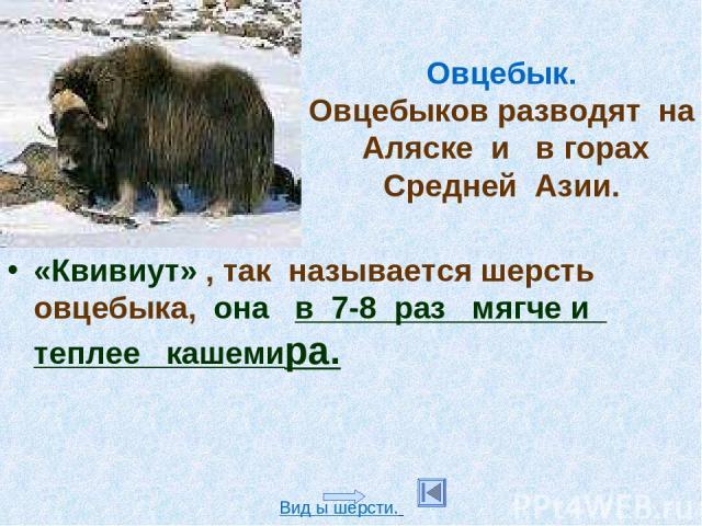 Овцебык. Овцебыков разводят на Аляске и в горах Средней Азии. «Квивиут» , так называется шерсть овцебыка, она в 7-8 раз мягче и теплее кашемира. Вид ы шерсти.