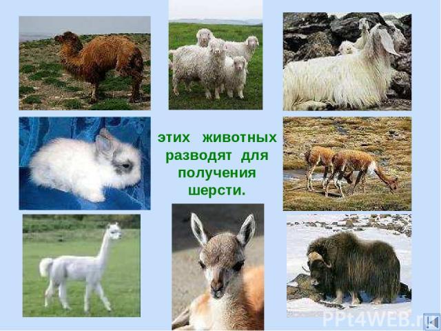 этих животных разводят для получения шерсти.