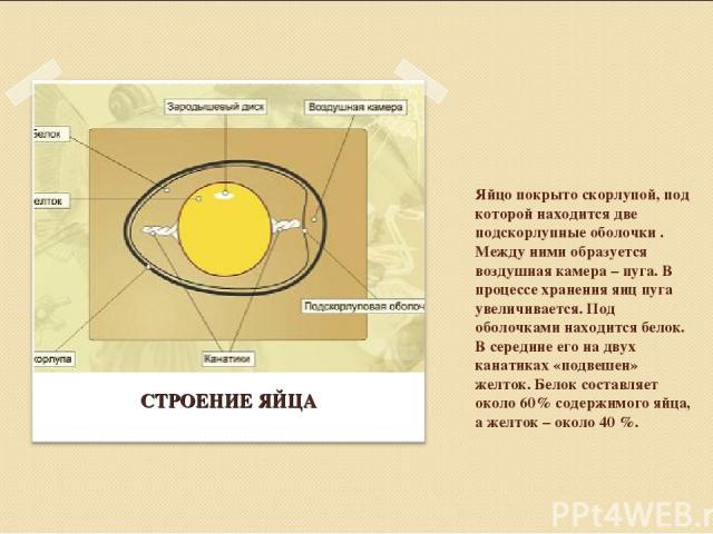 Яйцо покрыто скорлупой, под которой находится две подскорлупные оболочки . Между ними образуется воздушная камера – пуга. В процессе хранения яиц пуга увеличивается. Под оболочками находится белок. В середине его на двух канатиках «подвешен» желток.…