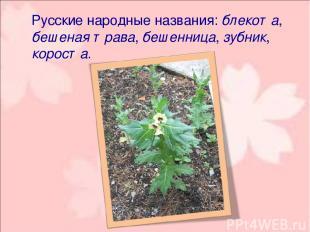 Русские народные названия: блекота, бешеная трава, бешенница, зубник, короста.